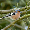 Common Chaffinch