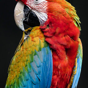 Pretty Bird by Perla Tortosa - Animals Birds ( bird, red, blue, color, parrot, macaw,  )