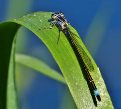 Photo: Große Pechlibelle (Ischnura elegans) 2