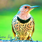 Northern ( Yellow Shafted ) Flicker