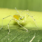 Asemonea Jumping Spider ♀
