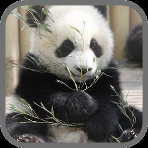 download cute panda live wallpaper 3d for pc