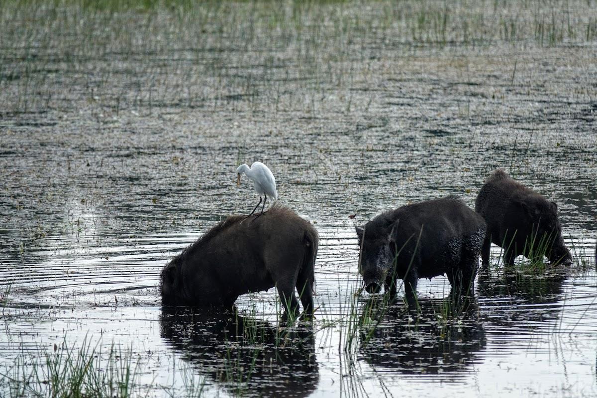 Sri. Lanka Wilpattu National Park . Wild Pigs
