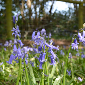 Bluebells by Iain Weatherley - Flowers Flowers in the Wild ( wild flower, bluebellgardens, blue, bells, bluebell, flowers, bluebells )