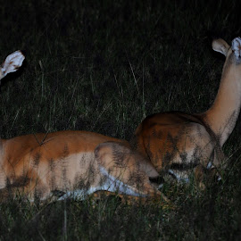 Impala Does by DJ Cockburn - Animals Other Mammals ( aepyceros melampus, lying, impala, pair, female, antelope, brachystegia woodland, forest, doe, liwonde, malawi, africa )
