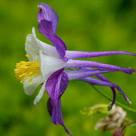 columbine f9 190519_3627 by Kathy Eder - Flowers Single Flower