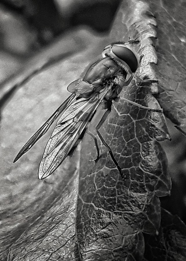 Fly by Billy Kennedy - Instagram & Mobile Android ( head, close up, fly, wings, insect, leaf, wing )