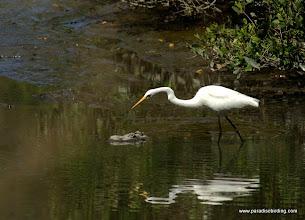 Photo: Great Egret at Laguna de Quelele