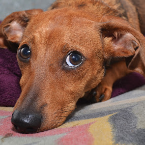 Dachshund by Michael Cowan - Animals - Dogs Portraits ( shelter, adopt, dog,  )