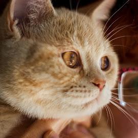 The third eye by Jiri Cetkovsky - Animals - Cats Kittens ( cat, british, brumelo, kitty, portrait )