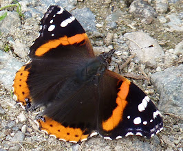 Photo: Red Admiral Butterfly