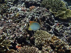 Photo: Chaetodon trifascialis (Chevron Butterflyfish), Small Lagoon, Miniloc Island, Palawan, Philippines.