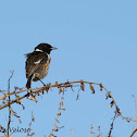 Common Stonechat (male)