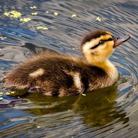 Duckling by Dave Lipchen - Animals Birds ( duckling )
