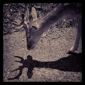 Deer #deer me by Ashley Humphrey - Instagram & Mobile Instagram ( shadow, antlers, wildlife, design, deer, animal )