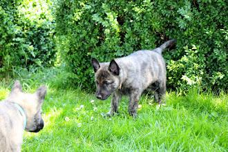 Photo: in de aanval :) (wit en Max)