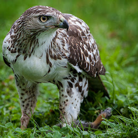 Red Tailed Hawk with Rabbit by Peter Christoph - Animals Birds