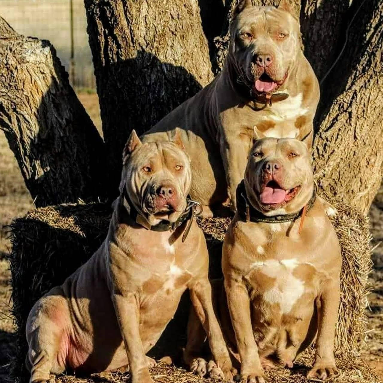 Xxl Pitbull Puppies For Sale In Texas