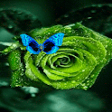 Green Rose Butterfly LWP icon