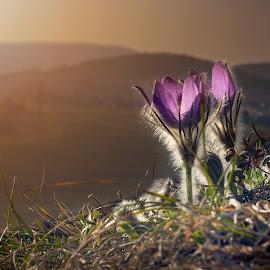 Landscape Guardians by Jiri Cetkovsky - Flowers Flowers in the Wild ( grandis, guard, pulsatilla, landscape, flower )