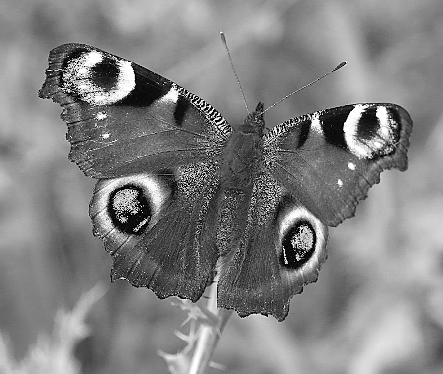 Butterfly in Grey by Chrissie Barrow - Black & White Animals ( spots, butterfly, monochrome, black and white, wings, antennae, grey, insect, mono, peacock, animal )