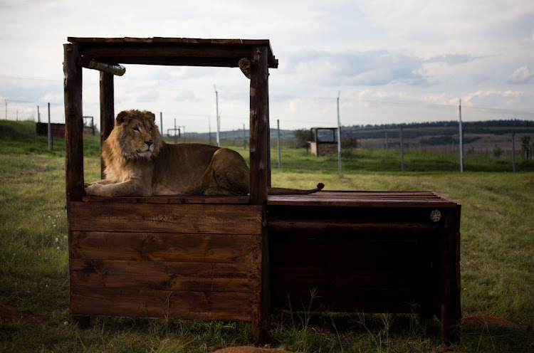 Simba and Saeed were moved from the animal sanctuary Al Ma'wa in Jordan.