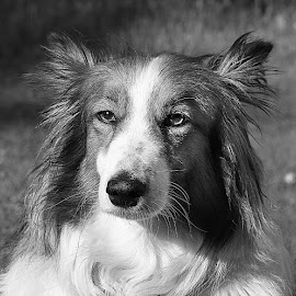 Ruby Girl by Chrissie Barrow - Black & White Animals ( monochrome, black and white, sheltie cross, long hair, pet, fur, ears, greys, dog, mono, nose, portrait, eyes, animal )