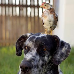 Duke and his friend by Chrismari Van Der Westhuizen - Animals - Dogs Portraits ( chicken, friends, dogs, pets, portrait, great dane )