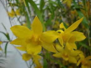 Photo: Dendrobium hancockii 'Little Saigon Gold' - Trúc Lan
