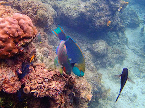 Photo: Unidentified Parrotfish, Miniloc Island Resort reef, Palawan, Philippines.