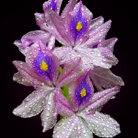 Hyacinth by Asif Bora - Flowers Flowers in the Wild (  )