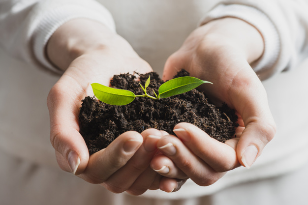 Close up of a pair of hands holding Coffee seedling with soil.