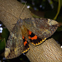Betrothed Underwing