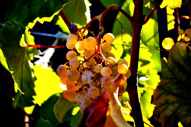 L'uva bianca di vb63