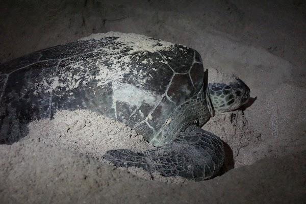 Meeresschildkröte am Strand von Ras al-Jins
