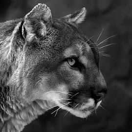 Mountain Lion by Shawn Thomas - Black & White Animals