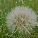 GIGANTIC dandelion fluff