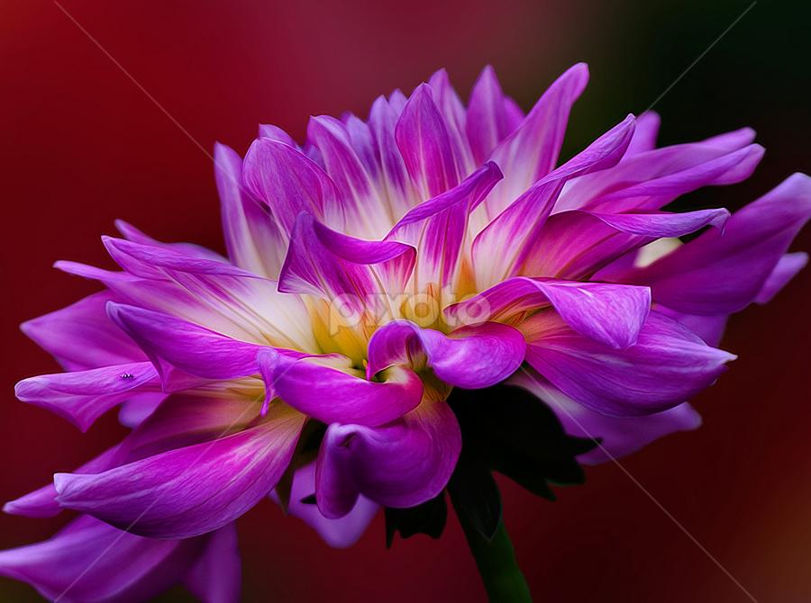 Happy Valentine by Carl Sieswono Purwanto - Nature Up Close Flowers - 2011-2013