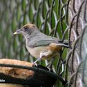 Tángara rastrojera - Scrub tanager
