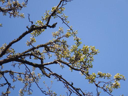 とよとみ梨2(花が咲いている)