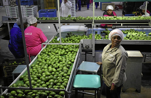 HEALTHY HAUL: Workers sort avocados at a farm factory in Nelspruit. Picture: REUTERS