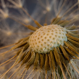 dandelion head by Eduard Valentinov - Nature Up Close Other Natural Objects ( plant, spectacular, concept, detail, old, single, fragile, one, botanic, beauty, spring, blossom, close, macro, nature, wither, interesting, dead, head, parachute, flower, closeup, abstract, wind, isolated, peaceful, flora, seed, green, weed, white, bloom, close up, soft, up, exciting, fluffy, dandelion, delicate, outdoor, background, taraxacum, summer, weak, garden )