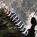 Convict Catterpillar