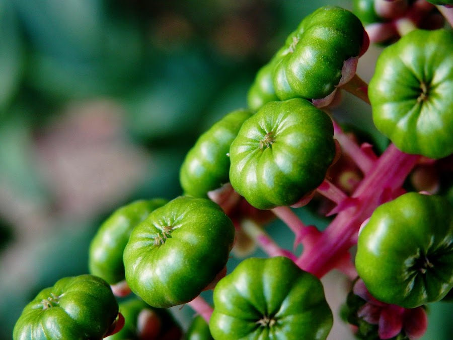 green & pink by Luis Leitao - Nature Up Close Other plants ( , flower, nature, flowers )