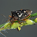 White dotted stink bug