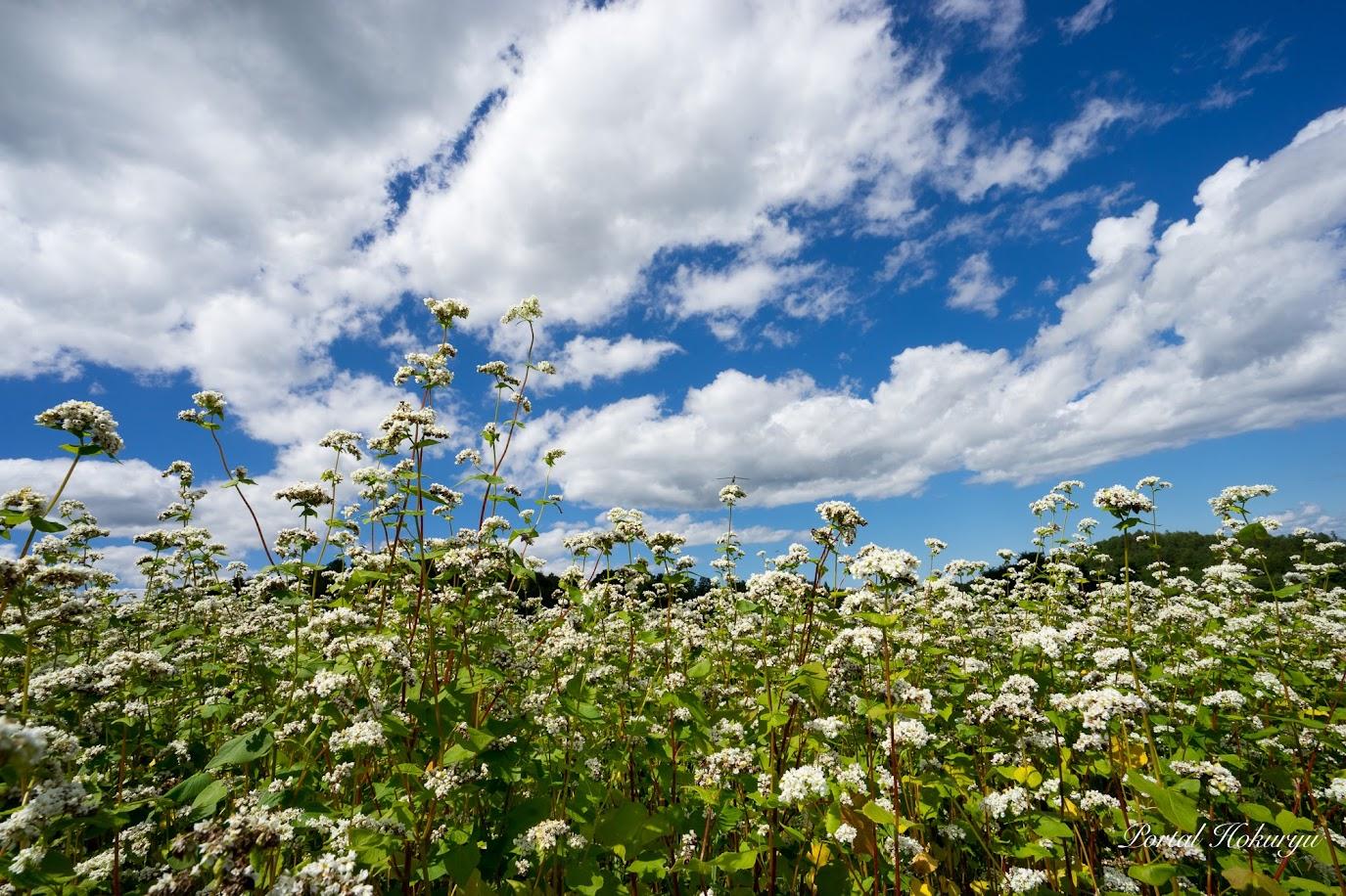 花をつけたソバ畑