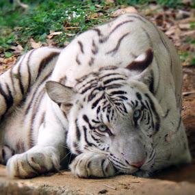 White Tiger by Harish Kumar K - Animals Lions, Tigers & Big Cats ( arignar, vandalur, zecharish, tiger, zoo, white,  )