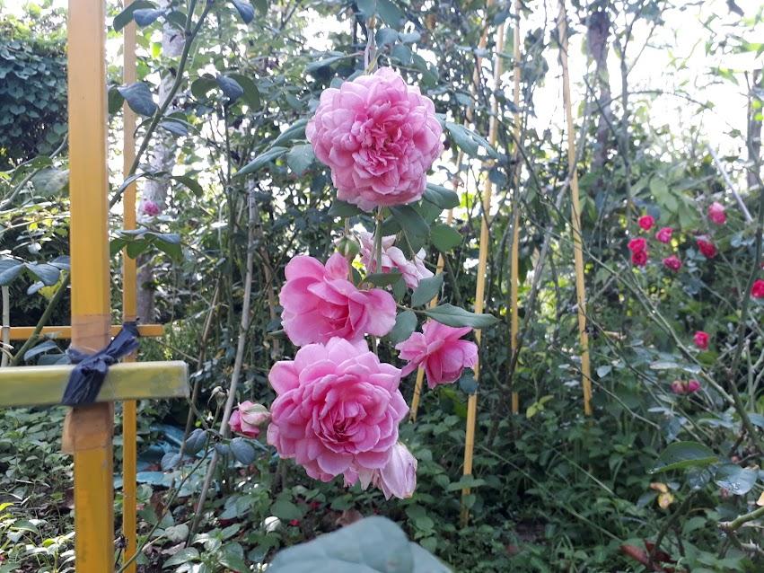 Mỗi lần hồng Huntington rose nở hoa, cây luôn cho hoa thành những chùm lớn rất đẹp