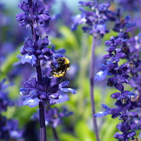Bee at the Mountain View Grand by Susan Englert - Animals Insects & Spiders ( flowers, mountains, bee, nature, purple,  )