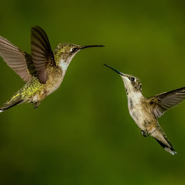 This is MY land! by David Hopper - Animals Birds ( wild, green, hummingbird, wildlife, bird, flight, flying, nature, fly, color, movement, action, animal )